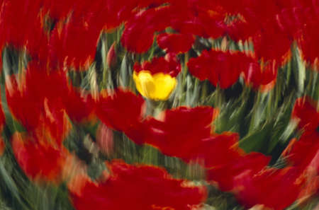 tuttle: Swirling view of blooming tulip flowers