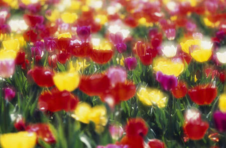 craig tuttle: Multi-colored tulips blooming in field, soft-focus