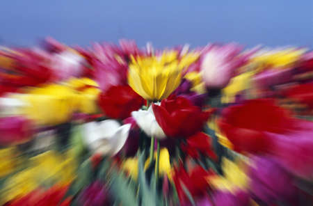 craig tuttle: Field of Tulip flowers with zoom-effect