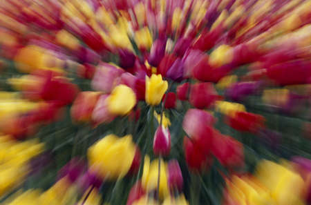 craig tuttle: Multi-colored tulip flowers, zoom-effect