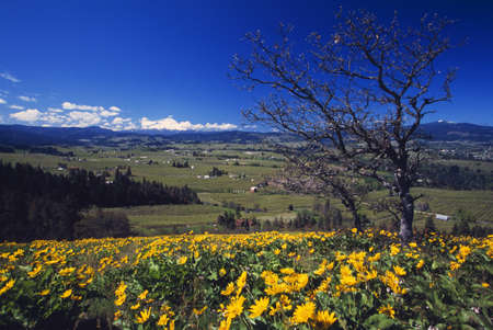 craig tuttle: Blooming yellow flowers, leafless tree, distant green meadow, Hood River Valley, distant Mount Hood.