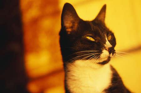 domestics: Black and white cat portrait Stock Photo