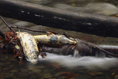Dead fish in a stream Stock Photo
