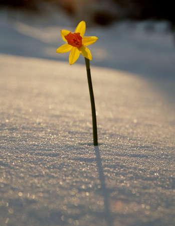 perseverance: A single Daffodil