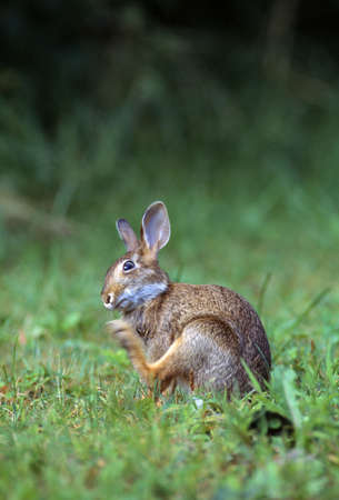 natural selection: Cottontail rabbit in grass, scratching.
