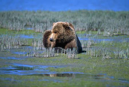 갯벌에 알래스카 브라운 베어