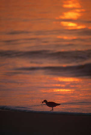 natural selection: Silhouette of willet seabird with crab, sunset reflection, Assateague Island.