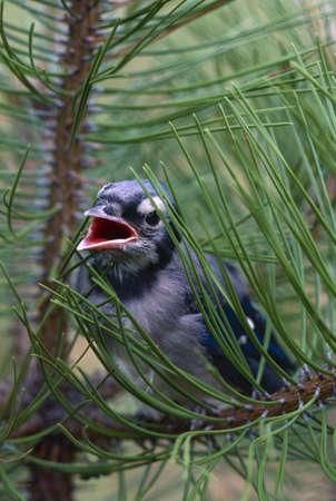 bluejay: Fledgling blue jay in branch