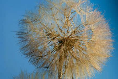 A close-up of a dandelion