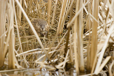 steve nagy: Young beaver in nesting ground Stock Photo
