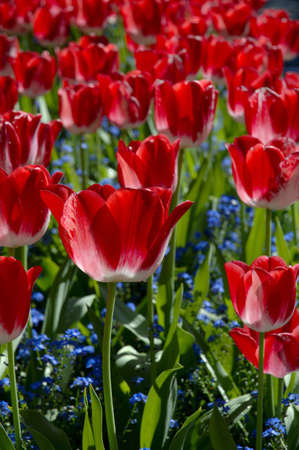 Countless red tulips