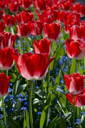 muz: Countless red tulips