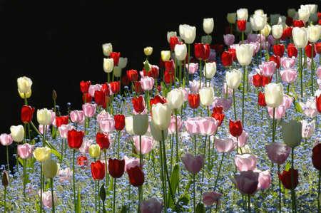 muz: Colorful tulips