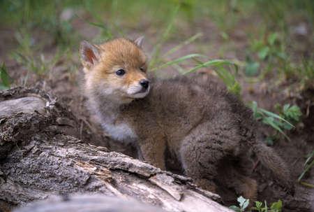 coyote: Coyote pup