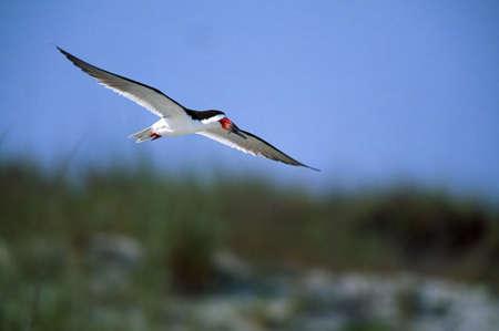 skimmer: Black Skimmer carrying fish