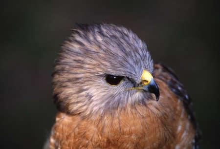 singular: Portrait of red-shouldered hawk