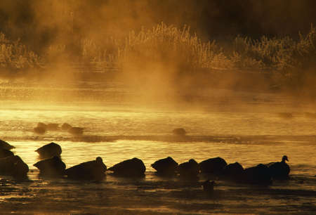 Silhouetted snow geese sleeping on misty water
