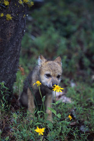 sniffing: Wolf puppy sniffing yellow flower
