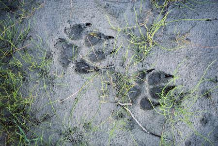 Wolf sporen in de modder Stockfoto