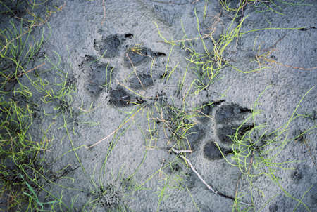 Wolf tracks in the mud