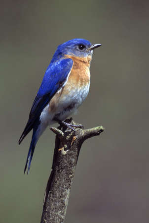 natural selection: Eastern bluebird Stock Photo