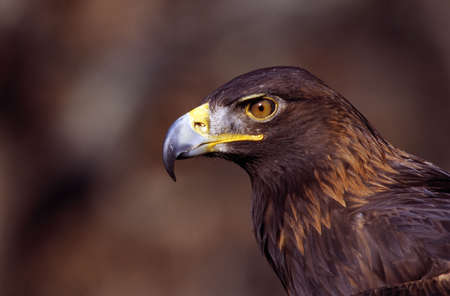 aigle royal: Portrait d'un aigle d'or Banque d'images