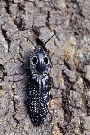 click beetle: Closeup of eastern eyed click beetle Stock Photo