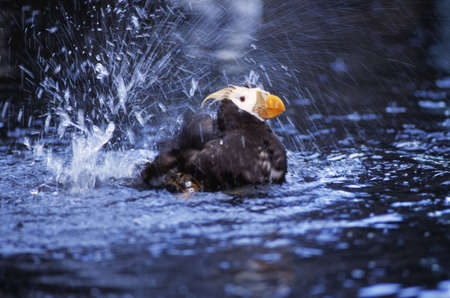 natural selection: A tufted puffin bathing at the Sea Life Center Stock Photo