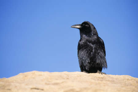 Common raven sitting on a boulder