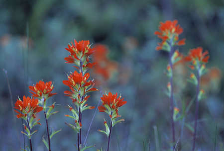 Red Indian paintbrush flowers photo