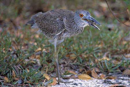 A yellow crowned night heron eating a crab photo