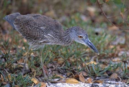 Yellow crowned night heron photo