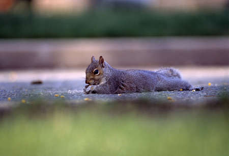 natural selection: Eastern gray squirrel eating corn Stock Photo