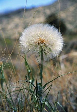 raniszewski: Salsify flower Stock Photo