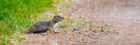 steve nagy: Gopher crossing the road cautiously
