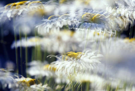 craig tuttle: Daisies with blur