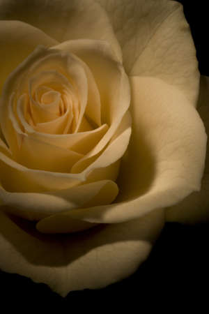 rosoideae: White Rose
