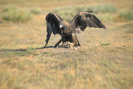 prey: Golden eagle on prey Stock Photo