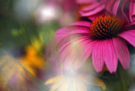 Purple cone flower with soft focus Фото со стока