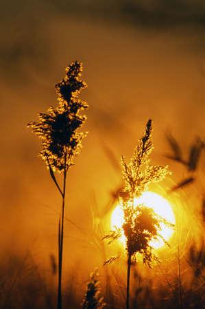 Sunrise and wheat stalks Stock Photo