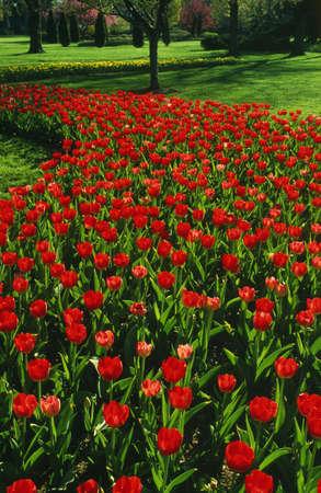 Red tulip garden Stock Photo - 5715094