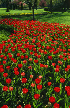 Red tulip garden Stock Photo - 5715094