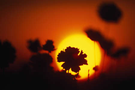 Silhouette of flowers at sunrise Stock Photo - 6217256