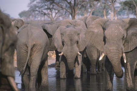 zimbabwe: Elephant herd at a waterhole in Africa Stock Photo