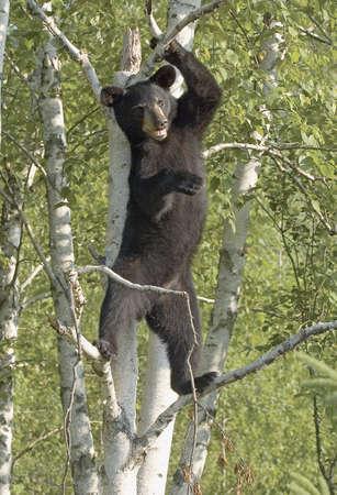 カブ: ツリーで黒いクマの赤ちゃん (スタンディング