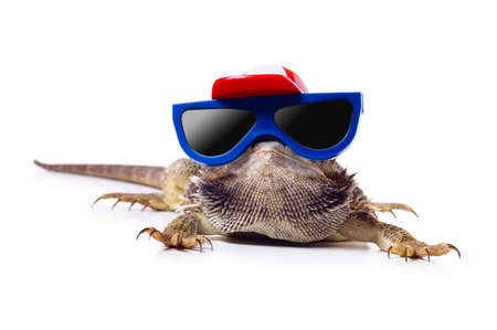 bearded dragon: Bearded dragon in sunglasses and cap