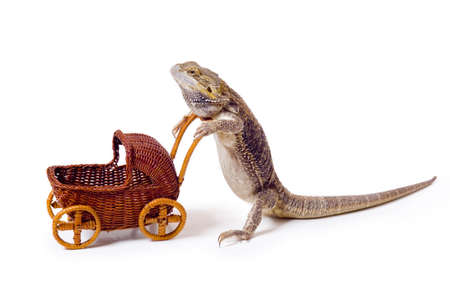 Bearded dragon pushing wicker baby carriage Stock Photo