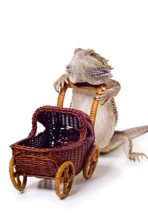 bearded dragon: Bearded dragon pushing wicker baby carriage Stock Photo