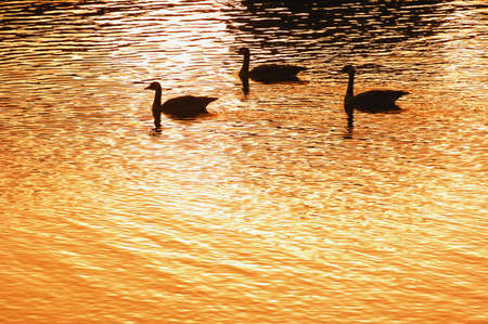 Silhouette of geese on water at sunset