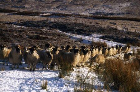 Schapen, winter in Glenshane, Co Derry, Verenigd Konink rijk  Stockfoto